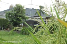 eHomestay Canggu from ready to harvest rice paddy field